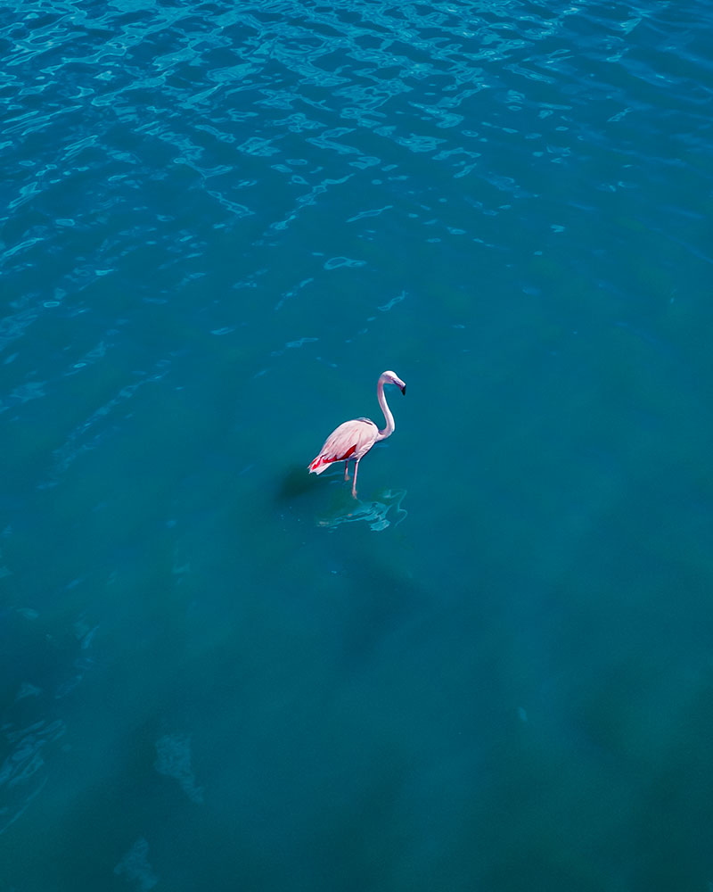 Drone shot of a flamingo in Sardinia