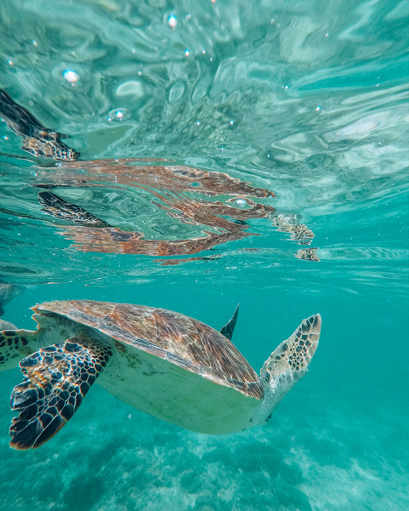 swimming and snorkelling with turtles on Cebu island Philippines
