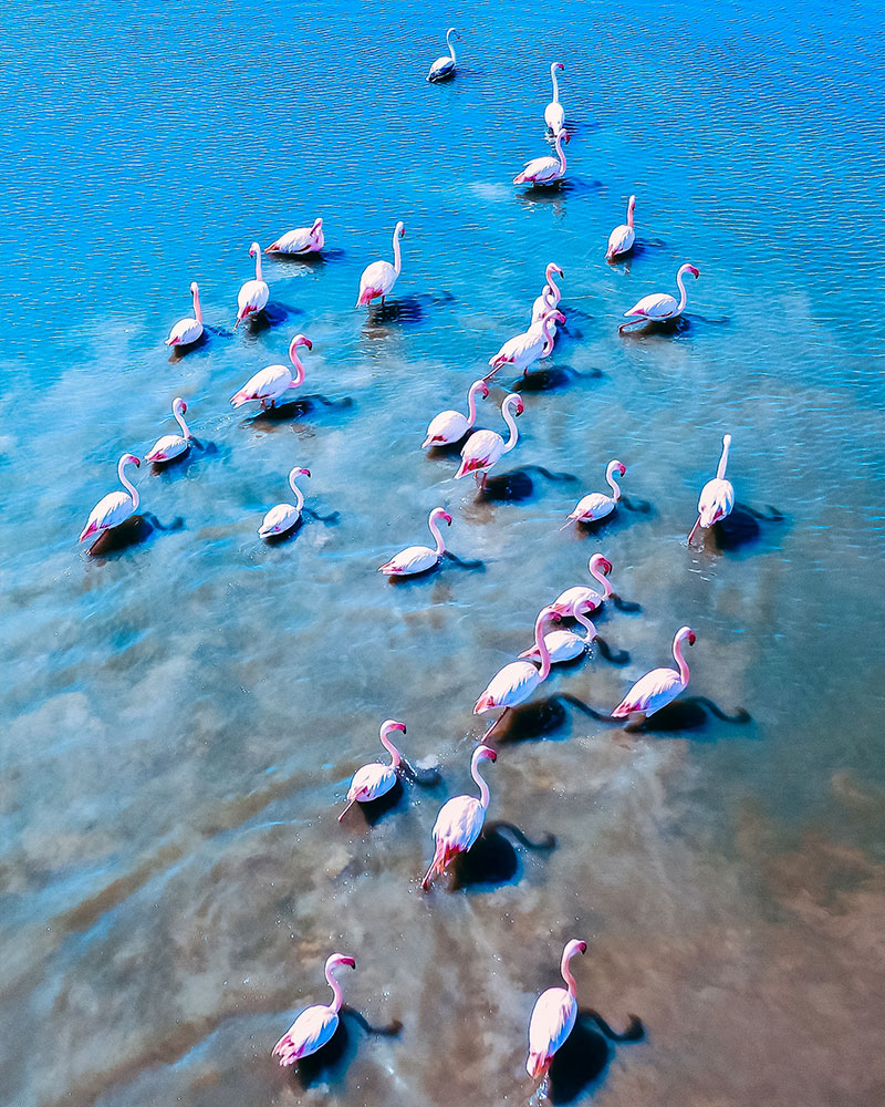 Flamingos in the lake in Sardinia