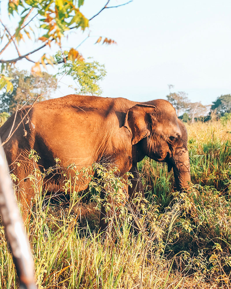 An elephant at Udawalawe National Park in Sri Lanka