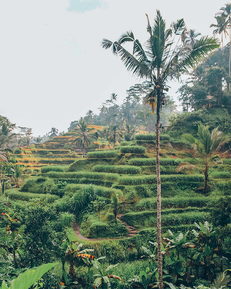 Tegallalanf rice terraces and fields in Ubud, Bali, Indonesia