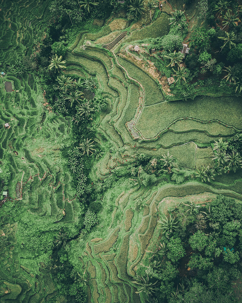 Drone shot of Tegallalang rice terraces and fields in Ubud, Bali, Indonesia