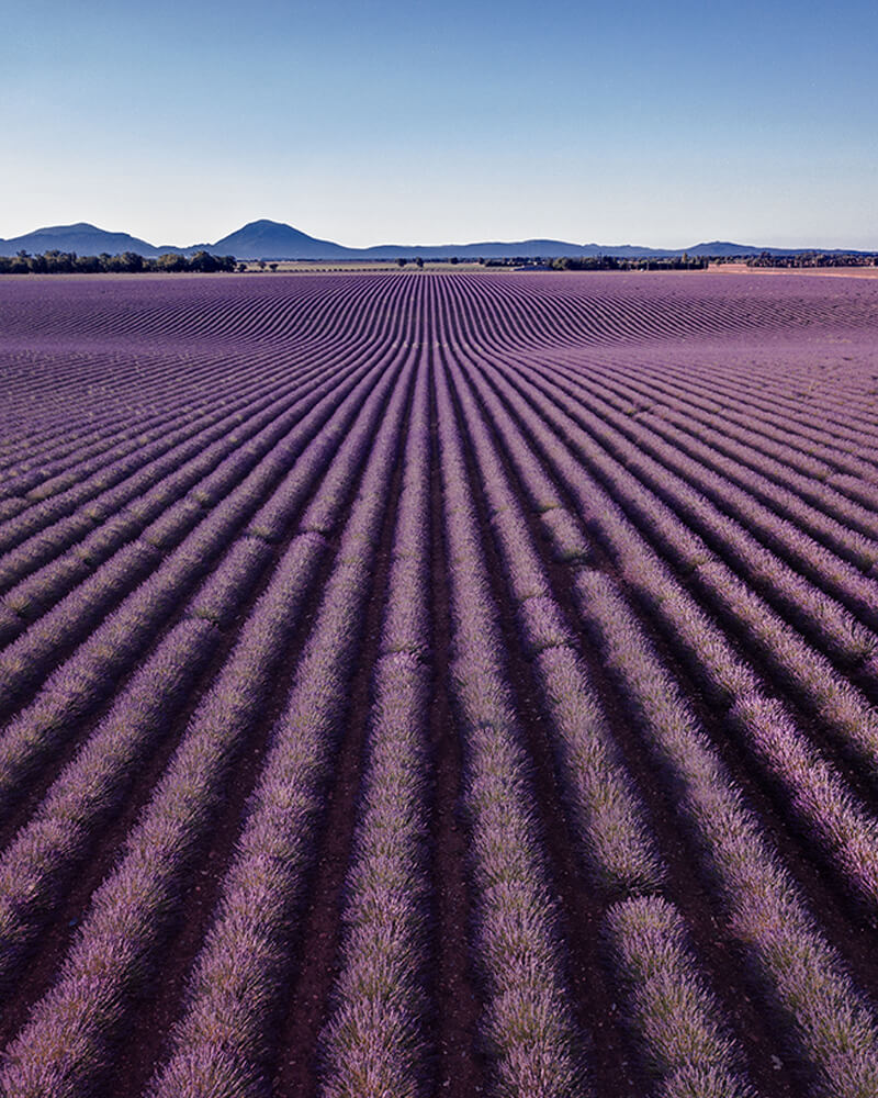 Lavender fields in Provence