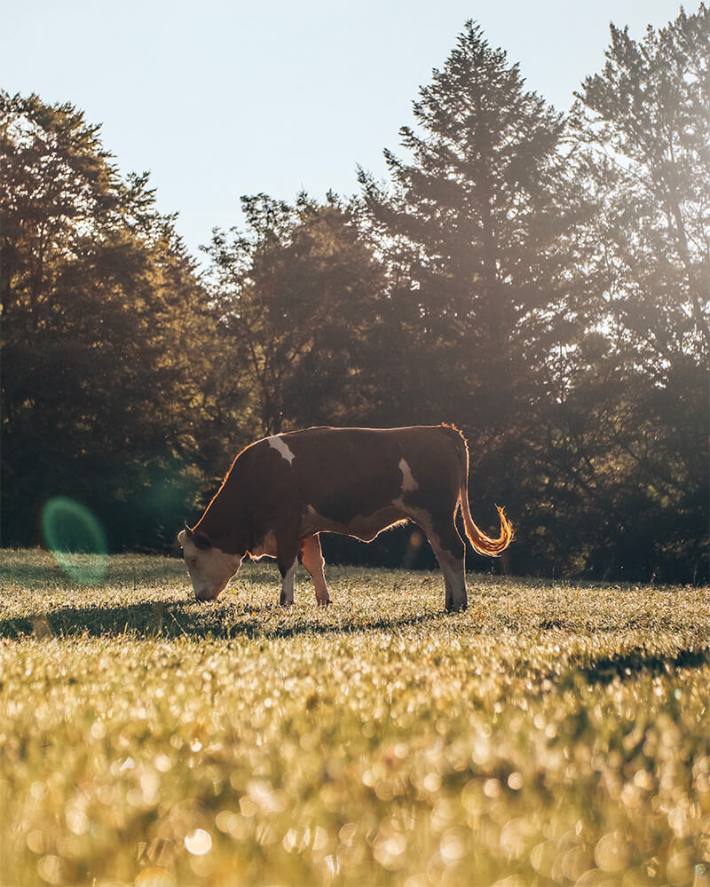 Photo of a cow at sunrise in bavaria