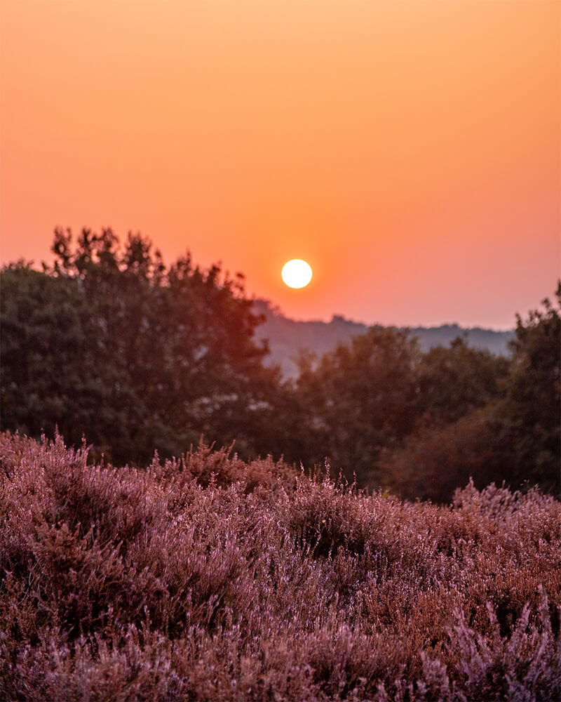 Sunrise in the heather field