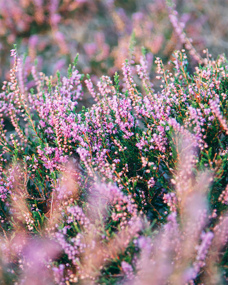 Purple heather up close