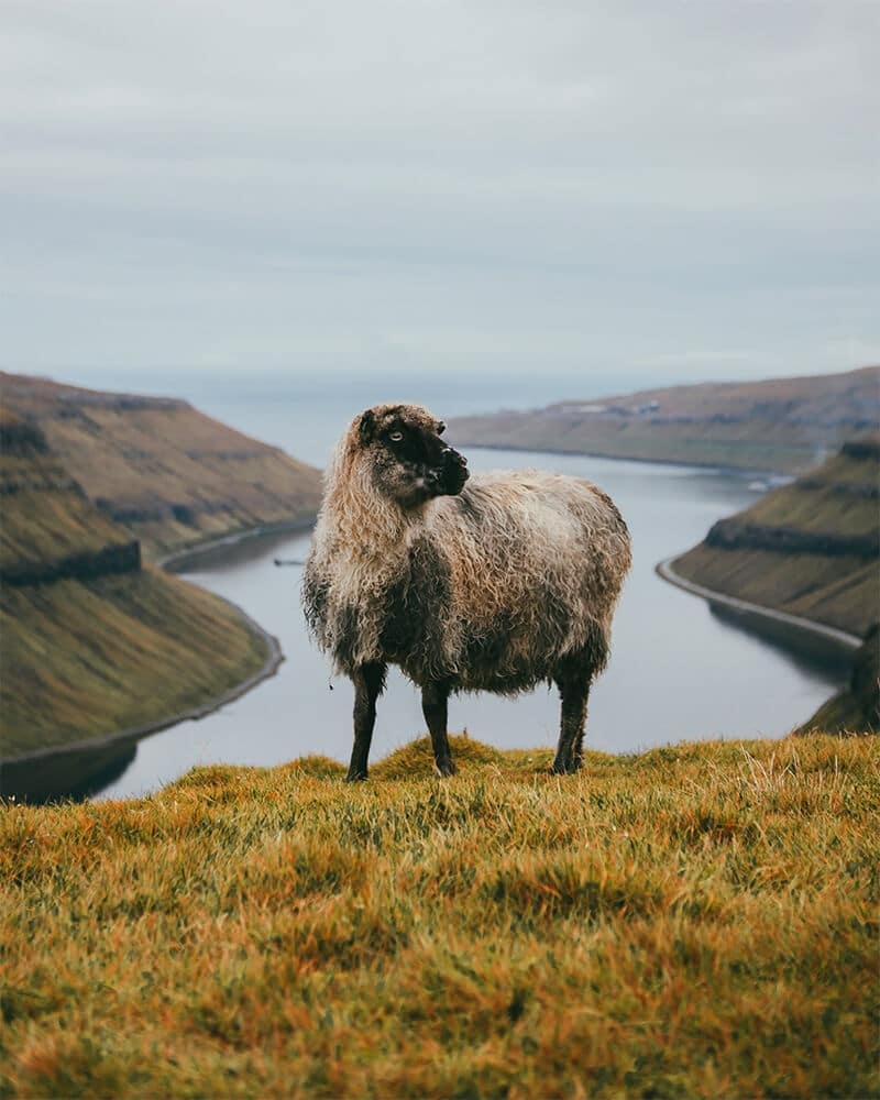 A sheep standing on a hill with a view behind