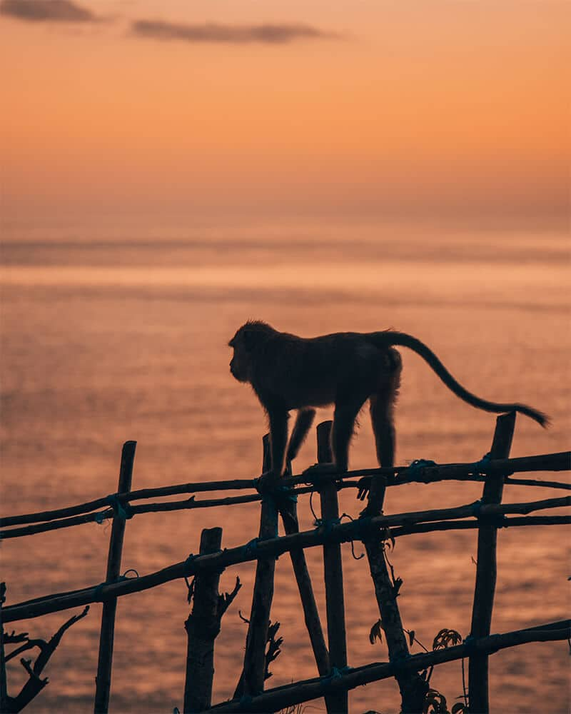 A monkey climbing along a fence at sunset at Kelingking beach, Nusa penida