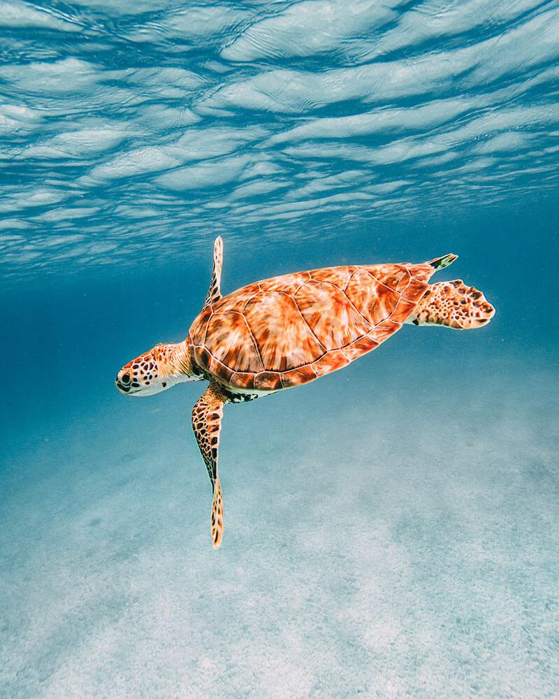 A turtle underwater in Aruba taken with a GoPro - snorkelling in Aruba is amazing